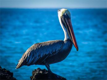 pelicano en las islas galapagos eriu photo fotografo donostia