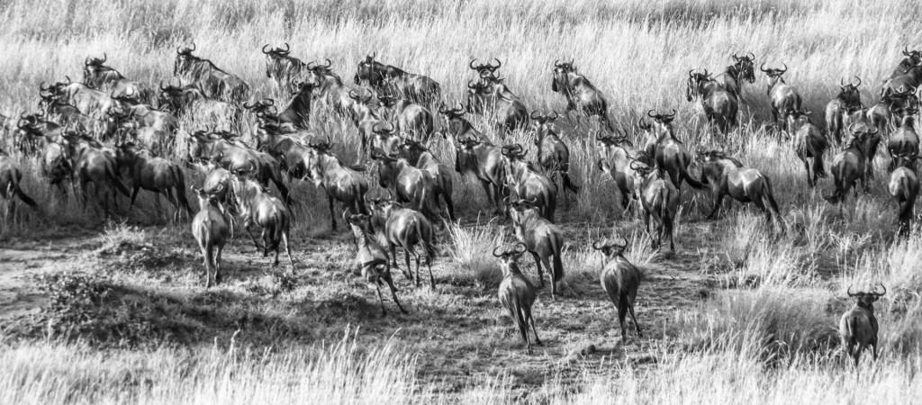 ñues en kenya la vida salvaje fotografias de eriu photo