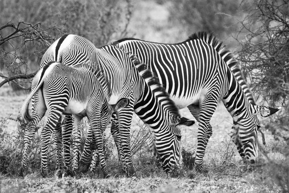 cebras en kenya eriuphoto.com fotografias de donostia san sebastian