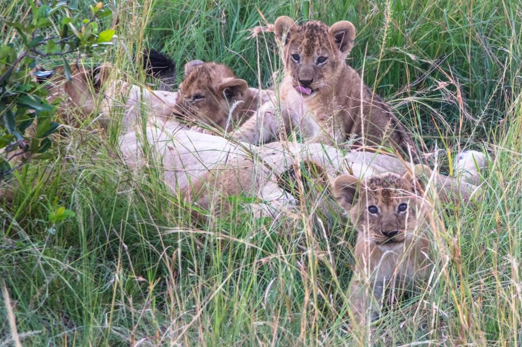 fotografias de leones en kenya eriuphoto.com fotografos en donostia san sebastian