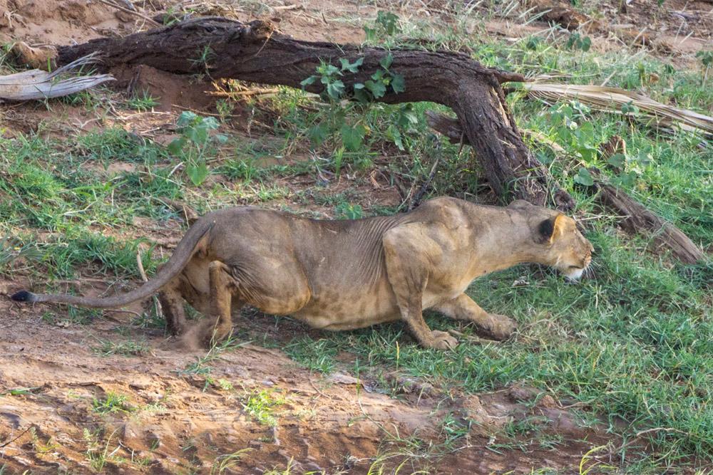 leona cazando en kenya eriuphoto.com fotografias de kenya